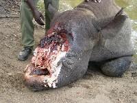 Nosorożec z obciętym rogiem