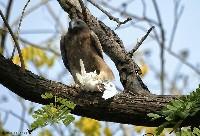 Orzełek włochaty na gałęzi