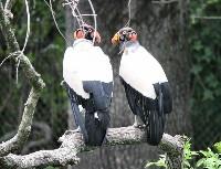 Para kondorów królewskich