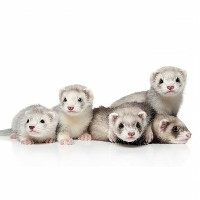 Pięć małych tchórzofretek