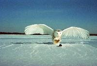 Polujaca sowa śnieżna