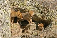 Młode kojoty