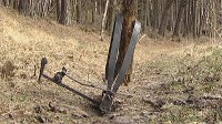 Potrzask zaciśniety na pniu drzewa