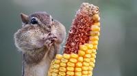 Pręgowiec amerykański jedzący kolbę kukurydzy