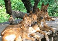 Psy rasy dingo