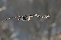 Puszczyk uralski podczas lotu