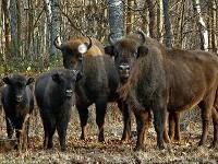 Rodzina żubrów w lesie