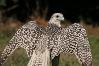 Rozłorzone skrzydła białozóra