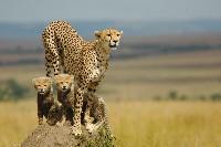 Samica geparda z dwoma młodymi