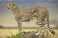 Samica geparda