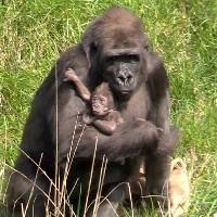 Samica goryla z potomkiem