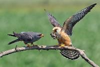 Samica i samiec kobczyk zwyczajny z pożywieniem