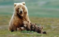 Niedźwiedzica z potomstwem