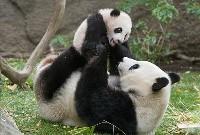 Samica panda wielka z potomstwem