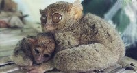 Samica wyraka filipińskiego z młodym