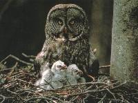 Samica puszczyka mszarego z młodymi