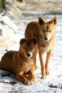 Samiec i samica rasy dingo