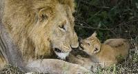 Samiec z lwiątkiem