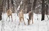 Sarny w lesie podczas zimy