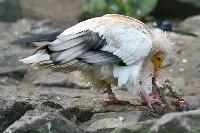 Ścierwnik jedzący padlinę