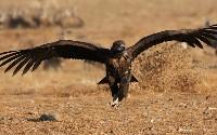 Sęp kasztanowy podczas lotu