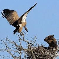 Sępy afrykańskie w gnieździe
