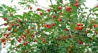 Siatka na drzewku owocowym