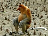 Siedzący nosak sundajski
