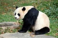 Siedząca panda wielka