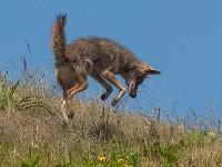 Skok Kojota