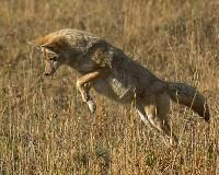 Skok Kojota na polanie