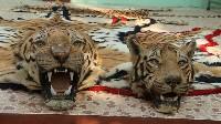 Skóry tygrysa