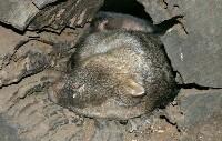 Spiący wombat tasmański