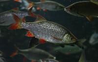 Stado ryb gatunku wzdręga