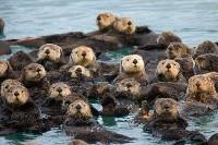 Stado wydr morskich