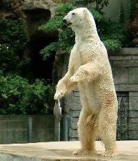 Stojący niedźwiedź polarny