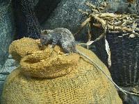 Szczury śniade na worku z pszenicą