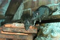 Szczury śniade na cegłach