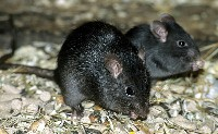 Małe szczury śniade