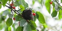 Szpak na drzewie owocowym
