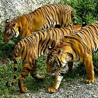 Trzy tygrysy