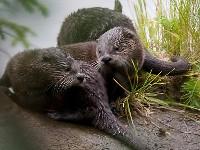 Trzy wydry kanadyjskie nad rzeką