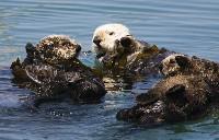 Trzy wydry morskie