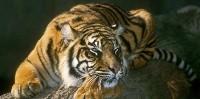 Tygrys na drzewie