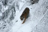 Tygrys w lesie podczas zimy