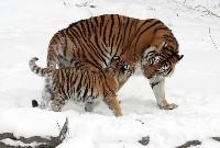 Tygrysica z małym tygrysem