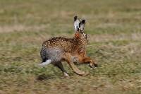 Uciekający zając szarak