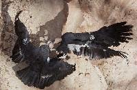 Walka kondorów kalifornijskich