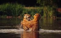 Walka tygrysów w wodzie