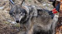 Wilk złapany w wyki